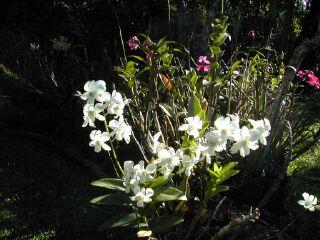 photo orchidée, jardin d\'orchidée ile de la Réunion, Saint Jospeh 04