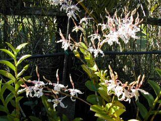 photo orchidée, jardin d\'orchidée ile de la Réunion, Saint Jospeh 20