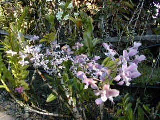 photo orchidée, jardin d\'orchidée ile de la Réunion, Saint Jospeh 23